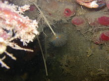 DSAC Sound of Mull Peacock Worm.jpg