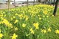 Daffodils, Belfast - geograph.org.uk - 1204338.jpg