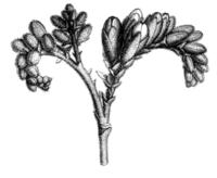 Dalbergia brasiliensis inflor Taub45C