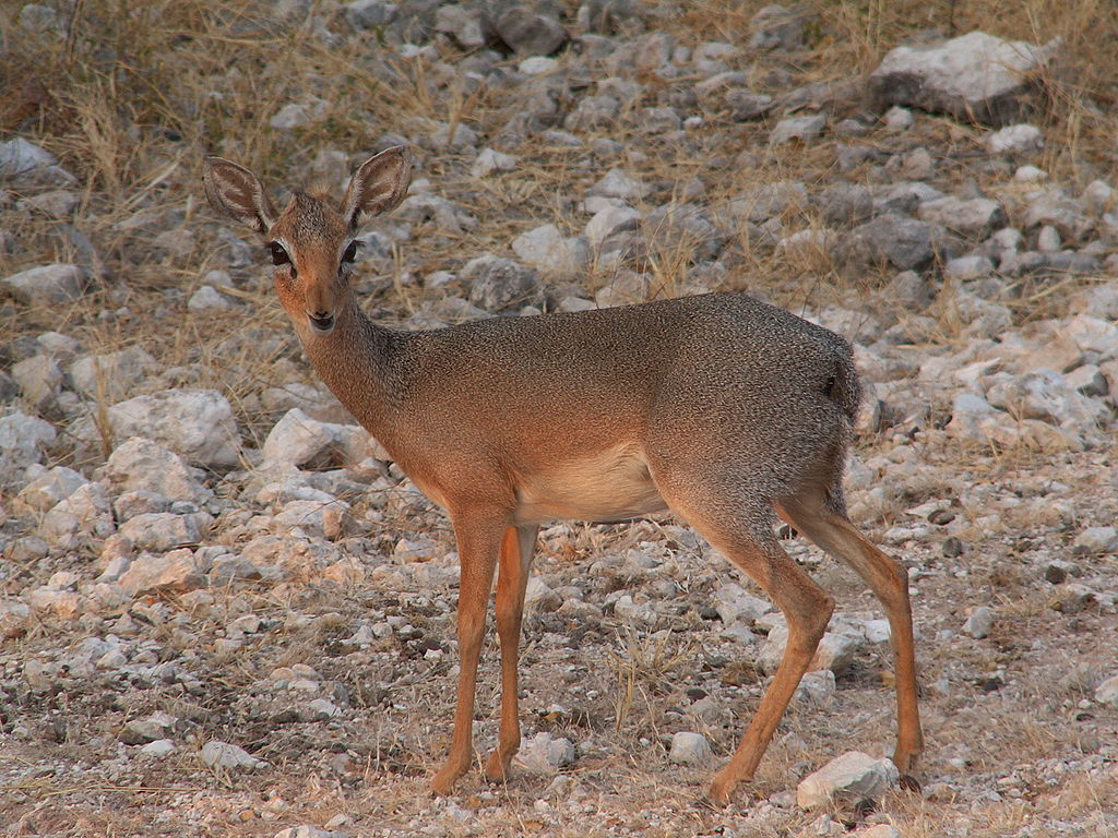 https://upload.wikimedia.org/wikipedia/commons/thumb/7/75/Damara_Dik-Dik.JPG/1024px-Damara_Dik-Dik.JPG