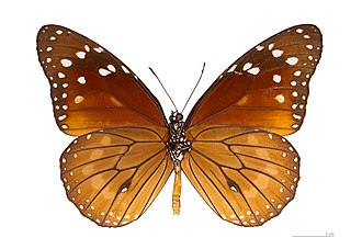 Danaus eresimus - Ventral view, same specimen