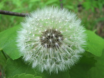 A dandelion ready for dispersal.
