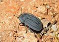 Darkling beetle, Tenebrionidae - Flickr - GregTheBusker.jpg