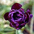 Deep purple tulip at Myddelton House, Enfield, London.jpg