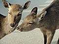 Deer in Miyajima - DSC02175.JPG