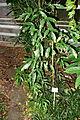 Delavaya yunnanensis - Botanischer Garten, Dresden, Germany - DSC08632.JPG