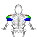 Deltoid muscle top5.png