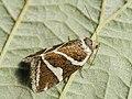 Deltote bankiana - Silver barred - Совка-листовёртка серебристая (40164046725).jpg