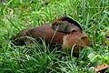 Dendrocygna autumnalis (Iguaza común) (14054039819).jpg