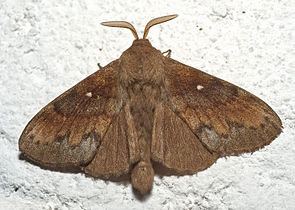 Kiefernspinner (Dendrolimus pini), ♂