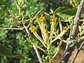 Dendrophthoe falcata var. falcata - Honey Suckle Mistletoe at Blathur 2017 (1).jpg