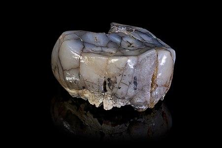 Tooth of Australopithecus africanus