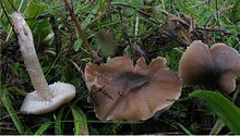 Three mushrooms on the ground, one has been picked and is lying with thestem pointing upwards; the caps are dark brown and the gills and stems, are a dirty whitish color.