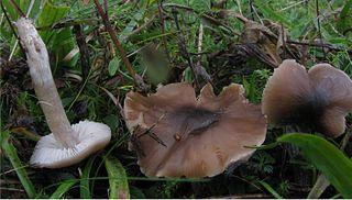 <i>Dermoloma</i> genus of fungi