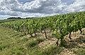 Des vignes à Irancy en juin 2020 - 2.jpg