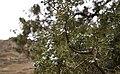 Deschutes Wild and Scenic River -- Beavertail (25519629073).jpg