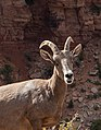 Desert bighorn sheep often blend into their surroundings, but can be spotted by the careful eye. (796f3e53-fe93-435a-953f-995529903d26).jpg