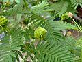Desmanthus illinoensis inflorescence & fruits 01.jpg