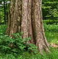 Detail van een oude berk (Betula ermanii). Locatie Hortus Haren 04.jpg