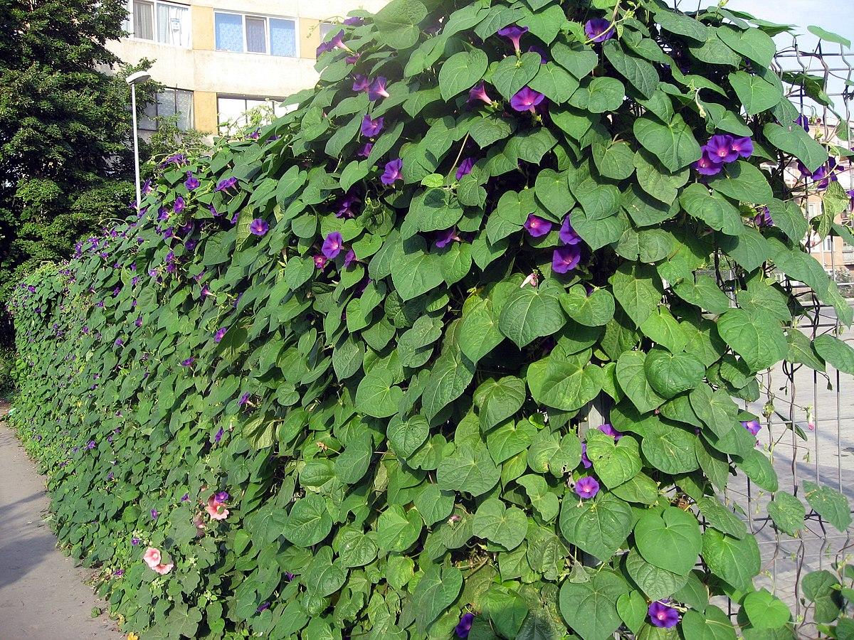 Ipomoea purpurea wikimedia commons for Ipomea purpurea