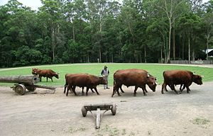 North Devon cattle - Devon bullock team, Timbertown, Wauchope, NSW