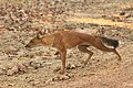 Dhole or Wild dog (59).jpg
