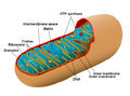 Diagram of a human mitochondrion.png