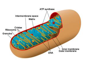Schiţa unei mitocondrii umane - evolutia celulelor complexe