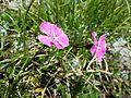 Dianthus alpinus sl8.jpg