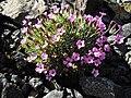 Dianthus gratianopolitanus ssp pulchellus 5.jpg