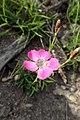 Dianthus pavonius kz03.jpg