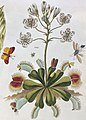 Dionaea muscipula, from- T. Green, The universal herbal. Wellcome L0025495 (cropped).jpg
