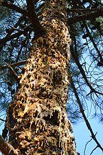 Dioryctria sylvestrella attack (31331221373).jpg