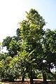 Diospyros blancoi 10zz.jpg