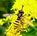 Diptera (2739805650).jpg