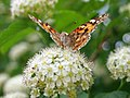 Distelfalter auf Blüte1.jpg