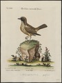 Dolichonyx oryzivora - 1700-1880 - Print - Iconographia Zoologica - Special Collections University of Amsterdam - UBA01 IZ15900043.tif