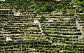 Donnas - vigne.jpg