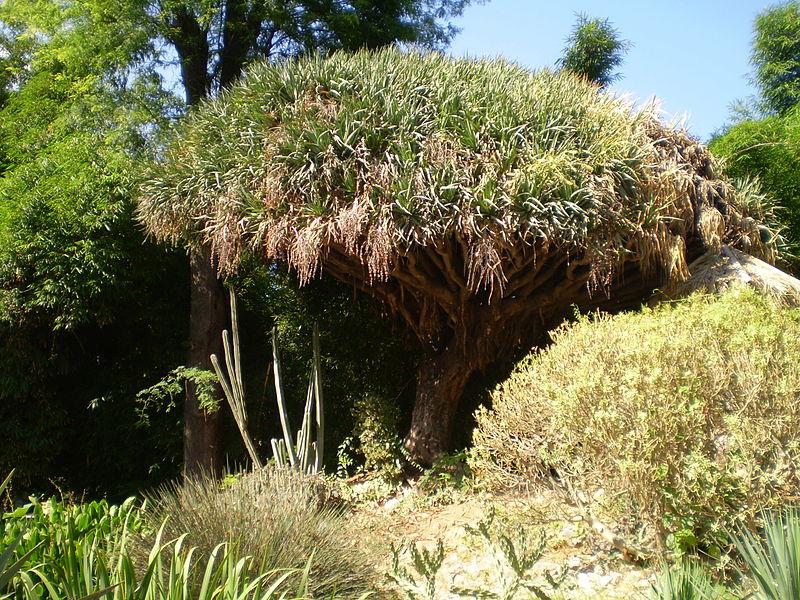 File:Dracena draco - Orto Botanico di Palermo 03.jpg