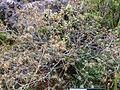 Dracophyllum recurvum Whakapapa 2.JPG