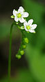 Drosera rotundifolia - flowers.jpg