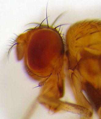 Drosophila - Side view of head showing characteristic bristles above the eye