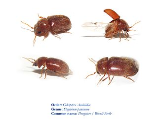 Museum integrated pest management - Drugstore beetle 03