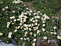Dryas octopetala plants.jpg