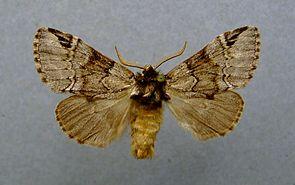 Schwarzeck -Zahnspinner (Drymonia obliterata)
