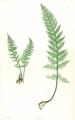 Dryopteris villarii Moore18.png