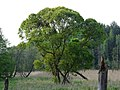 Drzewo stojące na rozlewisku rzeki Jamny - panoramio.jpg