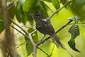 Dusky-tailed Antbird - Intervales NP - Brazil S4E0381 (12925777203).jpg
