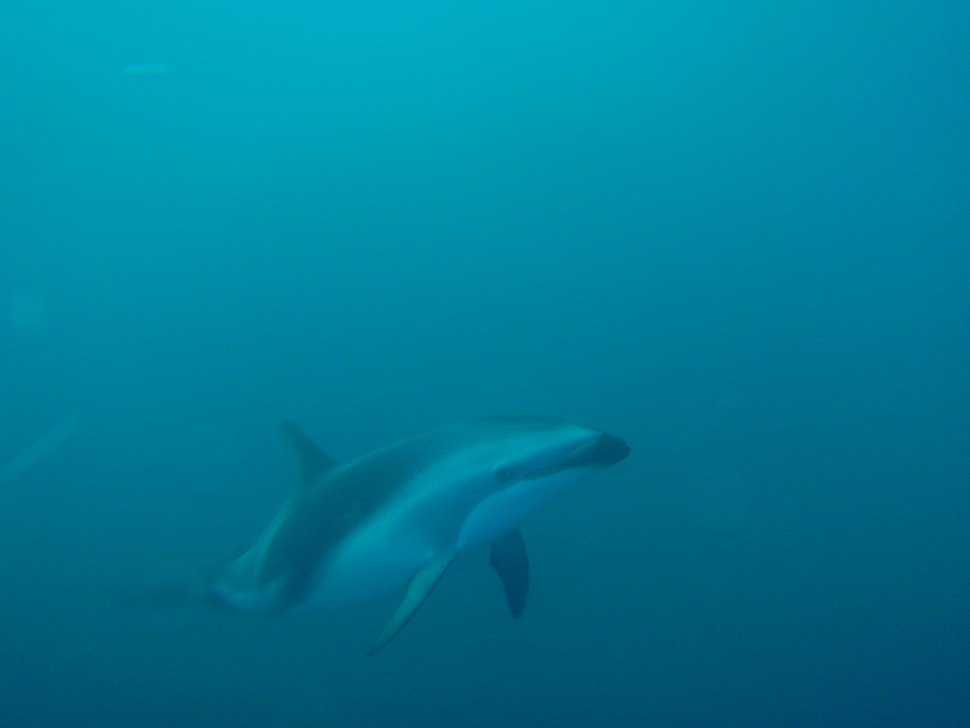 Dusky dolphin at the Aster wreck P2199275