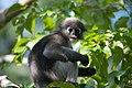 Dusky leaf monkey, Trachypithecus obscurus - Kaeng Krachan National Park (2).jpg